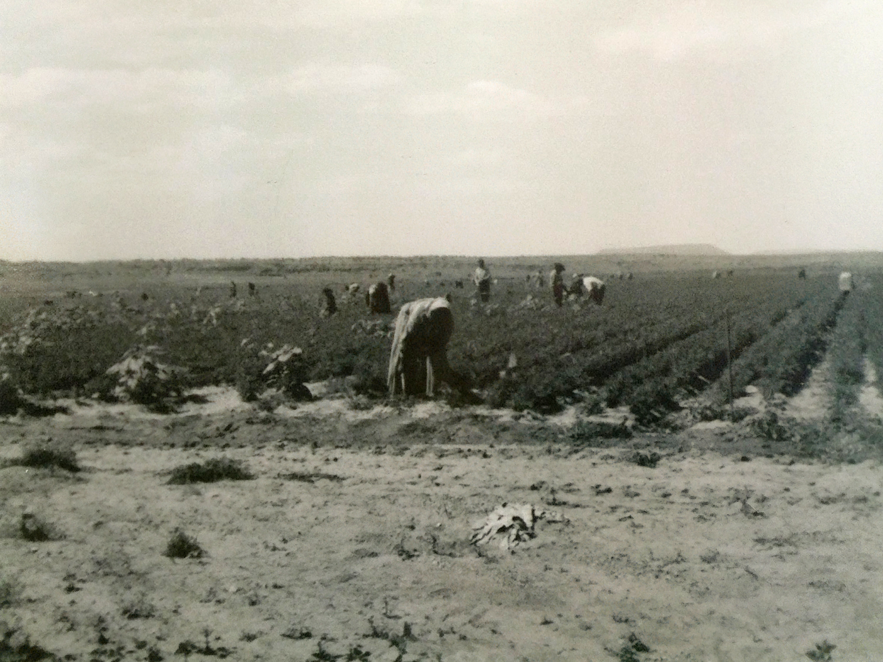 Carrot Fields Milan Ranch 1954