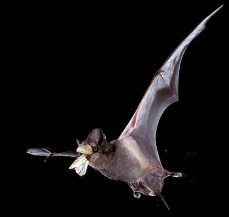 Bat eating a mosquito