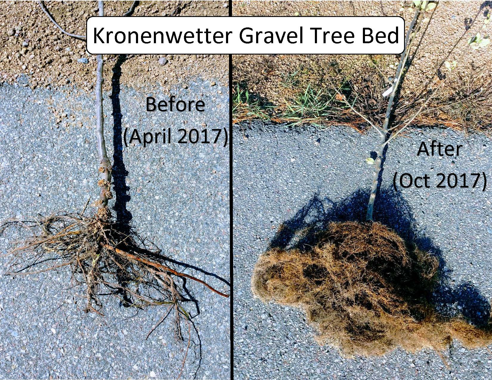 Before and After Tree Comparsion of Roots from Gravel Tree Bed