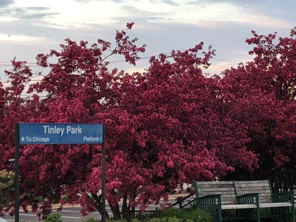 Tinley Park Red Foliage